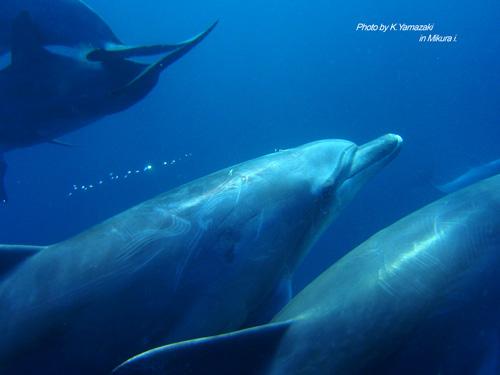 dolphin_mikura_1.jpg