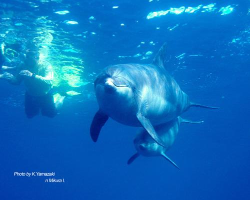 dolphin_mikura_2.jpg